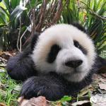 大熊猫认脸app下载1.0.1iPhone/ipad版
